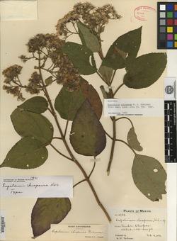 Image of Eupatorium chiapense