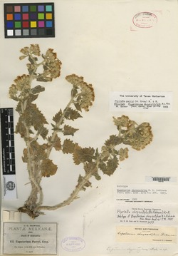 Image of Eupatorium chrysostylum