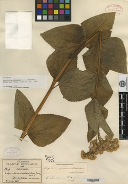 Image of Ageratina crenaea