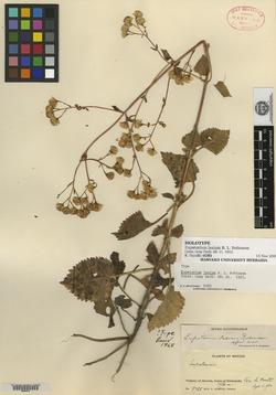 Image of Ageratina lasia