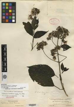 Image of Bartlettina luxii