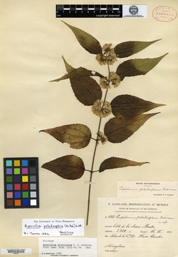 Image of Ageratina pelotropha
