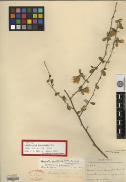 Image of Anastraphia paucifloscula
