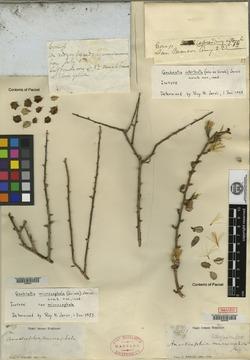 Image of Anastraphia microcephala