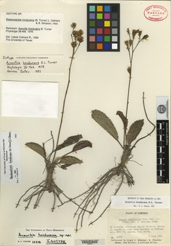 Image of Acourtia hondurana