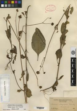 Image of Bidens integrifolia