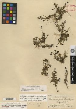 Image of Bidens anthemoides