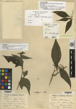Clibadium eggersii image