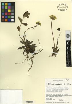 Image of Aphanactis macdonaldii