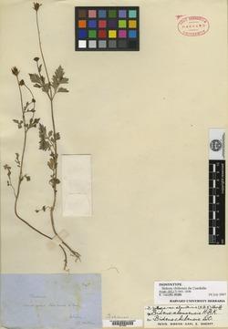 Bidens chilensis image