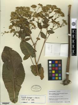 Image of Acourtia dieringeri