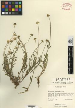 Image of Astranthium splendens