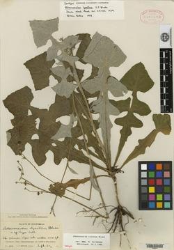 Image of Adenocaulon lyratum