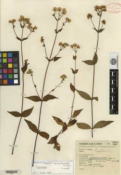 Image of Ageratina neohintoniorum