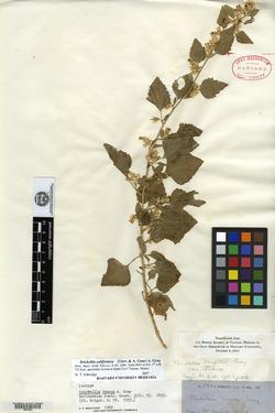 Image of Brickellia tenera
