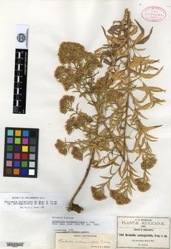 Brickellia solidaginifolia image