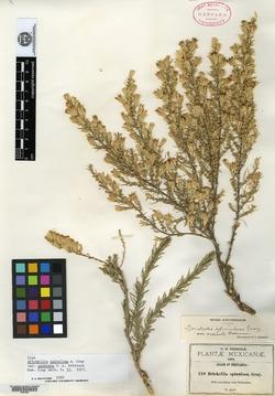 Brickellia spinulosa var. asperata image