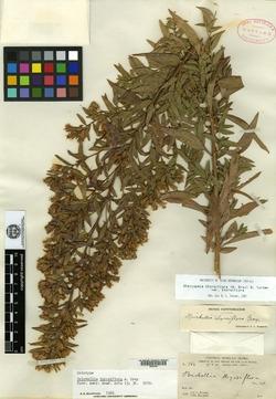 Image of Brickellia thyrsiflora