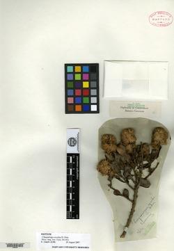 Dasyphyllum excelsum image