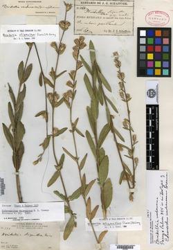 Image of Brickellia verbenacea
