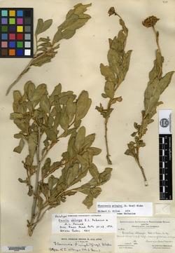 Image of Encelia oblonga