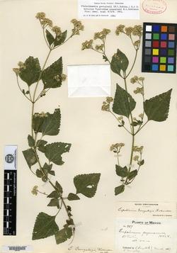 Image of Fleischmannia gonzalezii