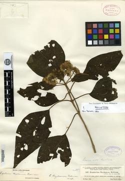 Image of Bartlettina heydeana