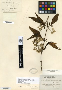 Image of Fleischmannia hymenophylla