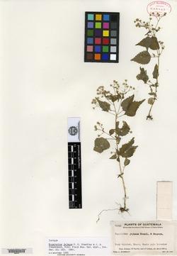 Image of Fleischmannia capillipes