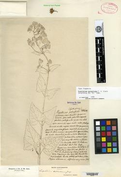 Image of Ageratina deltoidea