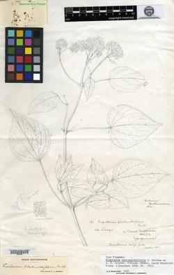 Image of Fleischmannia plectranthifolia