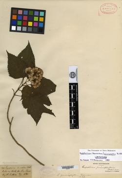 Image of Bartlettina prionophylla