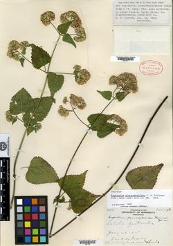 Image of Fleischmannia pycnocephaloides