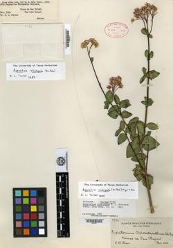 Image of Ageratina rhodopoda