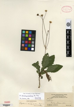 Image of Antillia brachychaeta