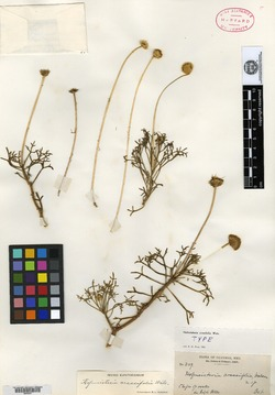 Hofmeisteria crassifolia image