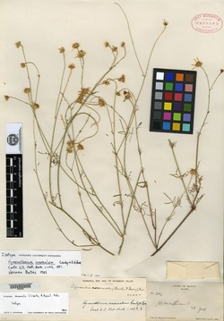 Adenophyllum anomalum image