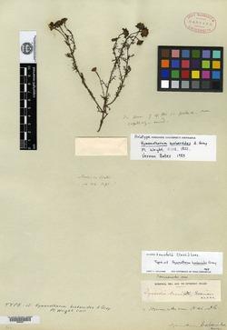 Image of Thymophylla tenuifolia