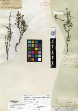 Melampodium cinereum image