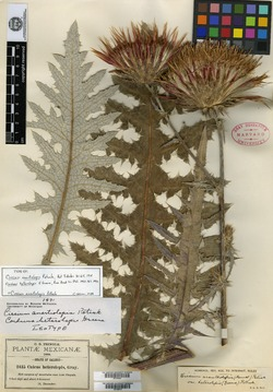 Image of Carduus heterolepis