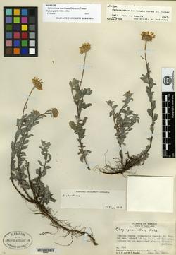 Image of Heterotheca mucronata
