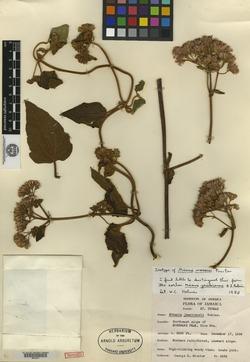 Mikania jamaicensis image