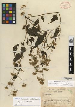 Image of Fleischmannia matudae