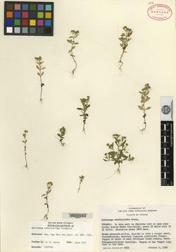 Image of Galinsoga subdiscoidea