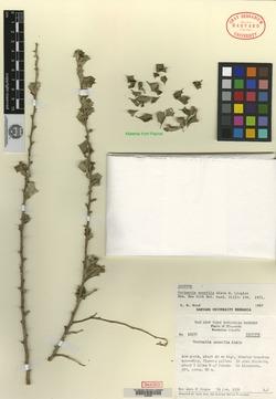 Image of Anastraphia sessilis
