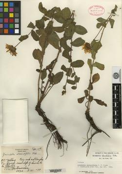 Image of Grindelia obovatifolia
