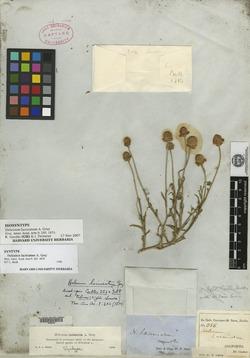 Image of Helenium laciniatum