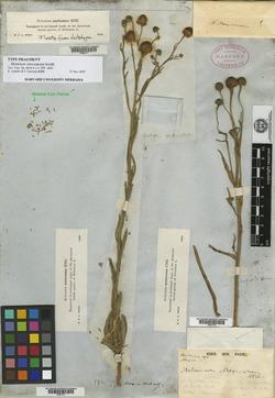 Image of Helenium mexicanum