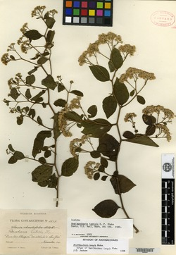 Archibaccharis schiedeana image