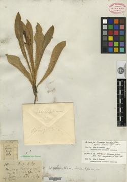 Image of Hieracium friesii